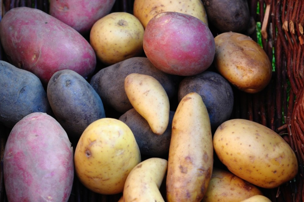 poteter-i-mange-farger-1024x680